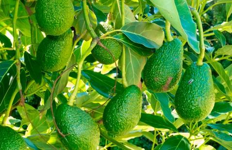 avocados-growing